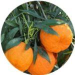 Extract de portocală amară