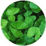gotu kola leaf extract