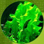 Alge extract