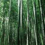 Bambusul