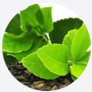 Extractul din frunze de ceai verde