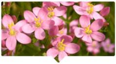 Moleculele de tip G Extract de fructe de Phyllanthus emblica