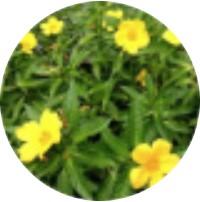 Extract de frunză de damiana